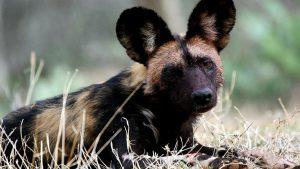 African Wild Dog (Lycaon) Laikipia Plateau