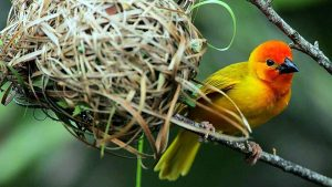 Golden Palm Weaver. Kenya