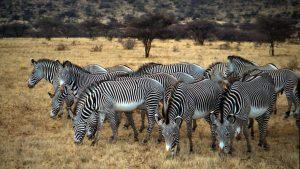 Grevy's Zebras Laikipia Plateau
