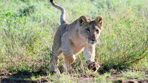 Lion Laikipia Plateau