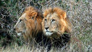 Lions Laikipia Plateau