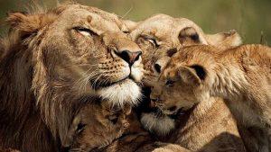Lions. Maasai Mara Reserve, Kenya