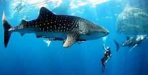 Whale Sharks Watamu-Kenya