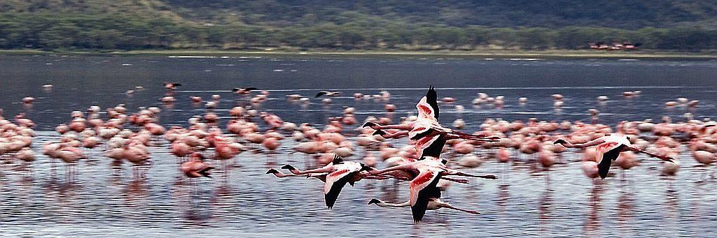Laghi del Kenya-Fenicotteri sul lago Nakuru