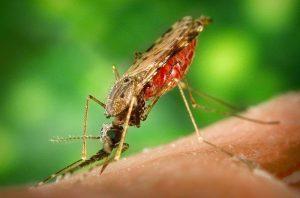 Femmina della zanzara anofele