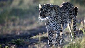 Leopardo africano-Vacanze Kenya